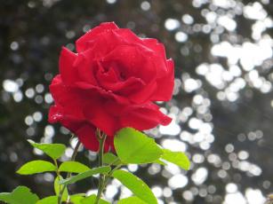Картинка цветы розы капли роса утро красная роза макро