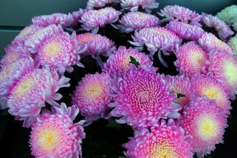 обои для рабочего стола осенние цветы хризантемы № 1155203 загрузить