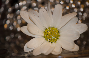 обоя цветы, ромашки, блёстки