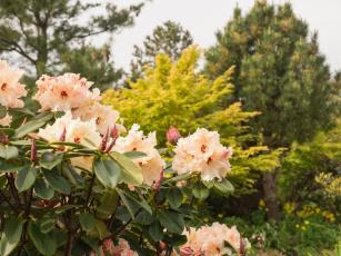 обоя цветы, рододендроны , азалии, куст, цветение, нежно-розовый