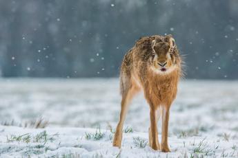 обоя животные, кролики,  зайцы, снег