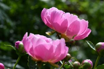 обоя цветы, пионы, бутон, цветение, пион, листья, лепестки
