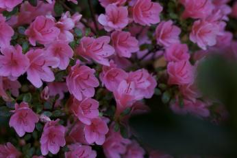обоя цветы, рододендроны , азалии, азалия, листья, ветка
