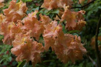обоя цветы, рододендроны , азалии, азалия, ветка, листья