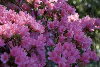 обоя цветы, рододендроны , азалии, ветка, листья, азалия