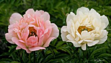 обоя цветы, пионы, розовый, лепестки, бутон, пион, цветение