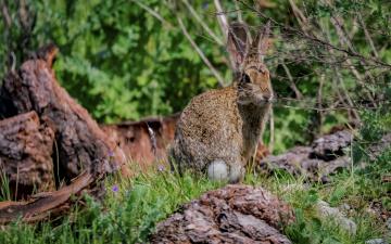 обоя животные, кролики,  зайцы, ушастый
