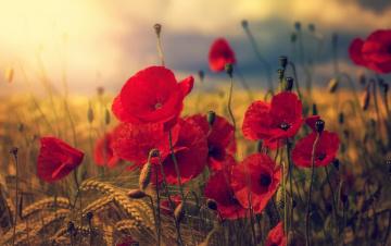 обоя цветы, маки, лето, цветение, цветок, мак