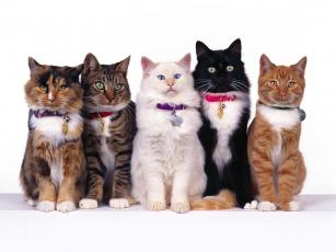 Картинка fancy felines животные коты
