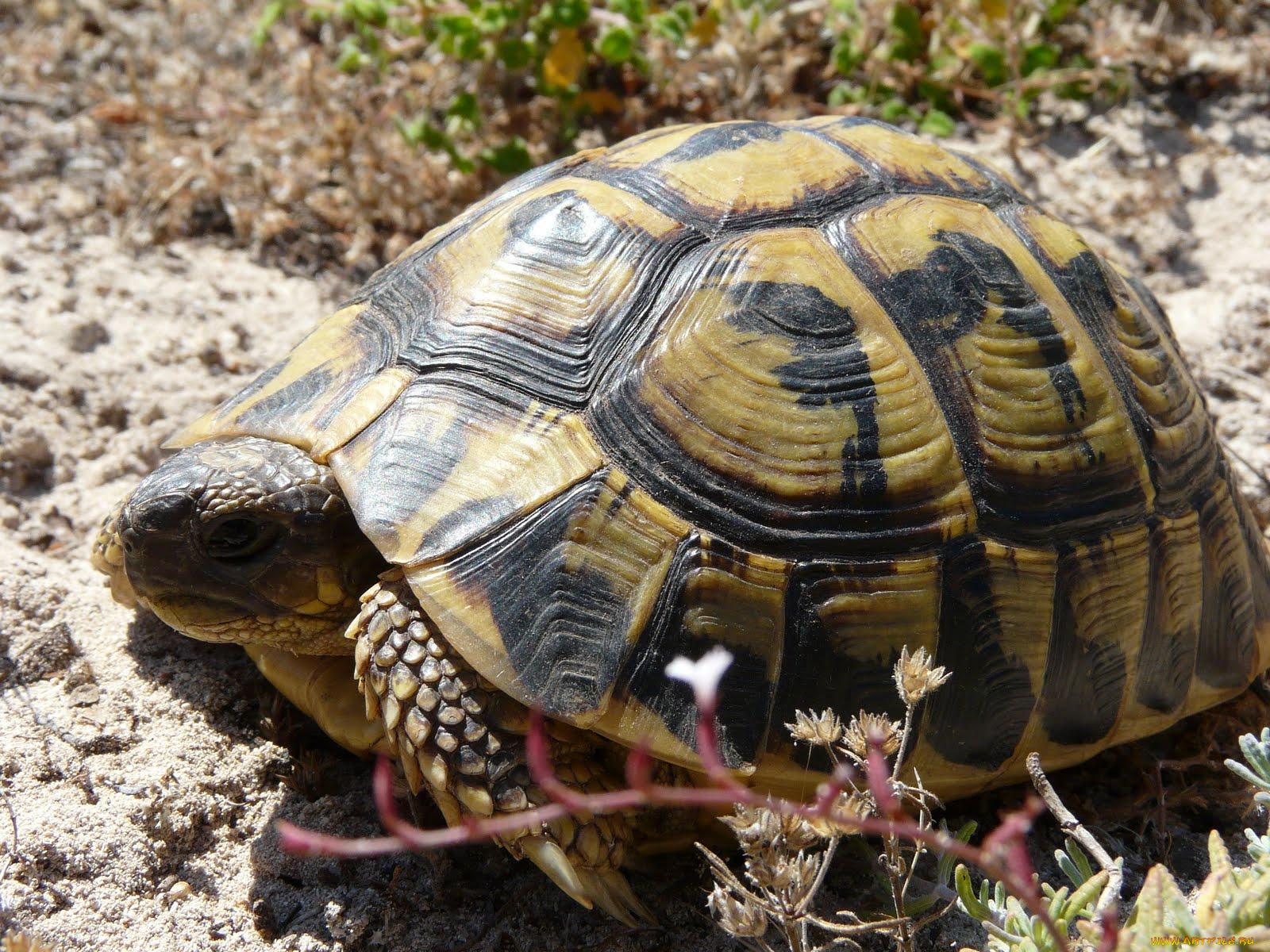 картинки среднеазиатских черепах и только сможете прокатиться