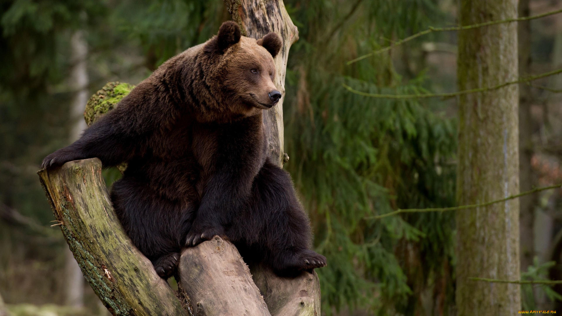 Спящий на бревне медвежонок подборки