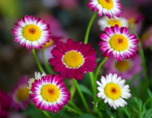 обоя цветы, ромашки, аргирантемум, боке