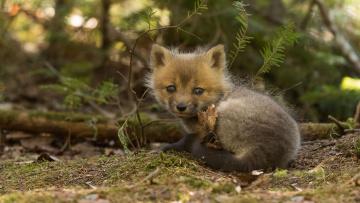 обоя животные, лисы, малыш, взгляд, лиса, детёныш, лисёнок