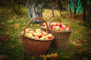 Картинка еда Яблоки сад яблоки корзины осень