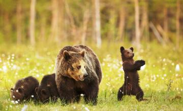 обоя животные, медведи, медведица, медвежата, детеныши, трава, поляна