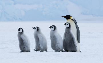 обоя животные, пингвины, пингвин, пингвинята, строй, шеренга, снег, лед
