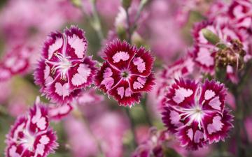 обоя цветы, гвоздики, поле, дикие