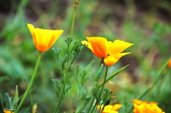 Картинка цветы эшшольция желтый