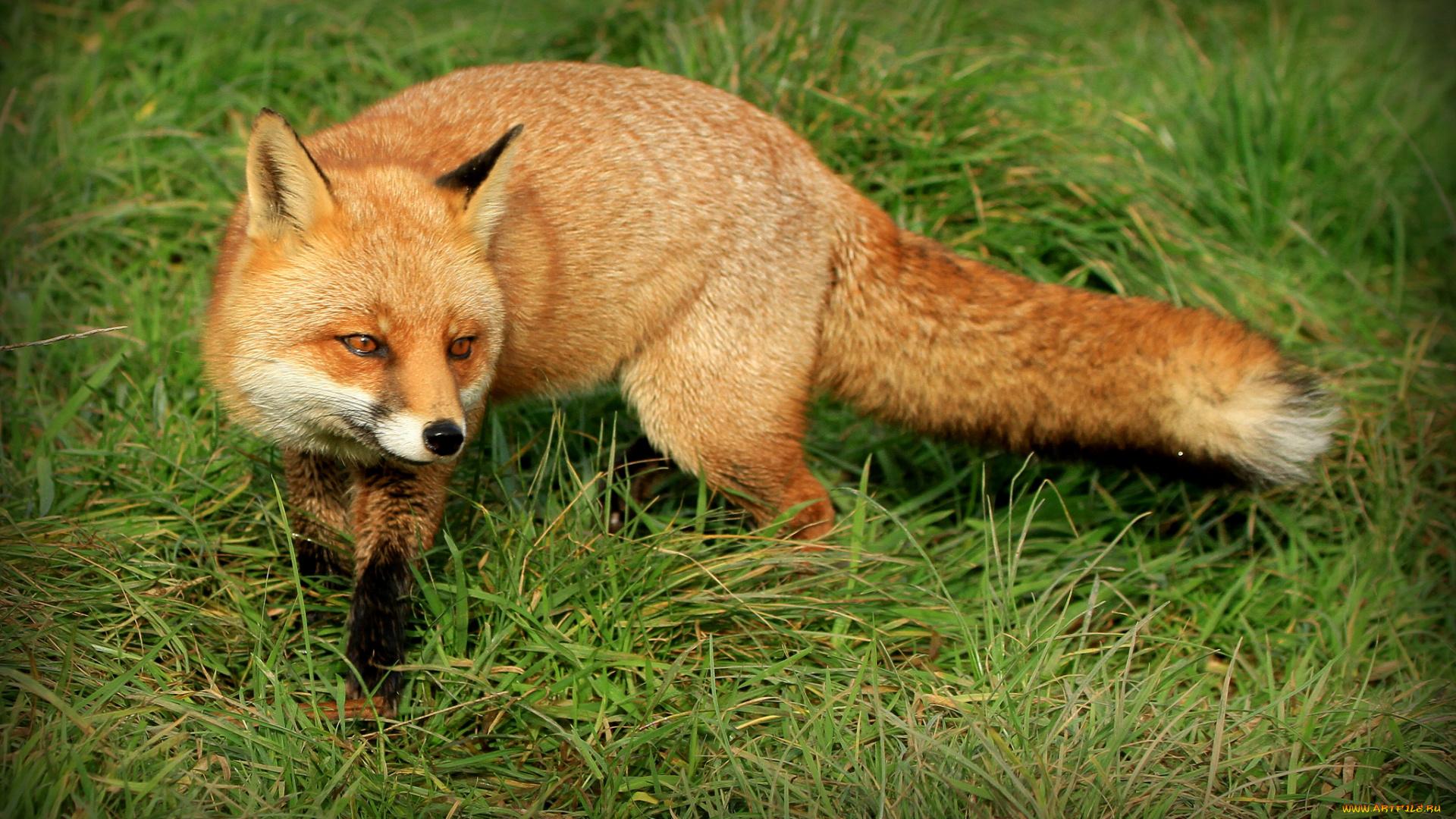 картинки лисы в лесу летом убийца джабраилова